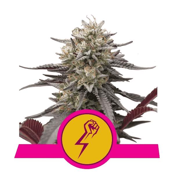 Green Crack Punch Cannabis Seeds