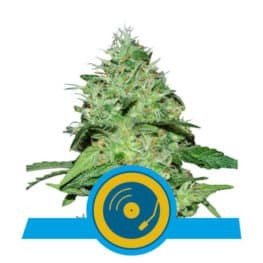 Joanne's CBD Feminized Cannabis Seeds from Royal Queen Seeds