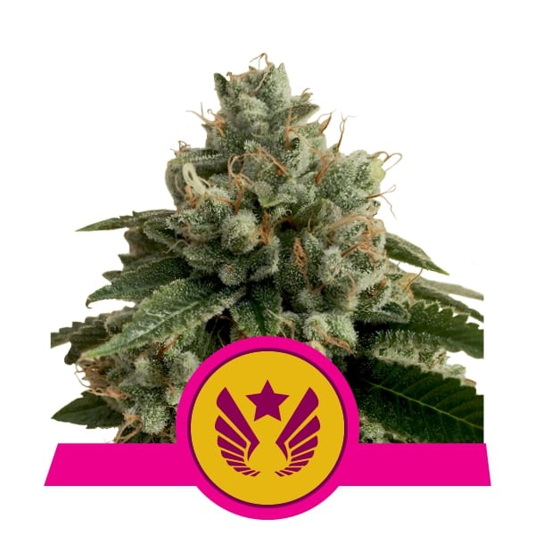 Buy Legandary OG Punch Feminized Cannabis Seeds from Royal Queen Seeds online at HollandsHigh