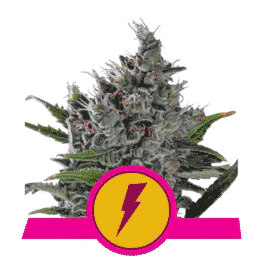 North Tunderfuck Feminized Cannabis Seeds