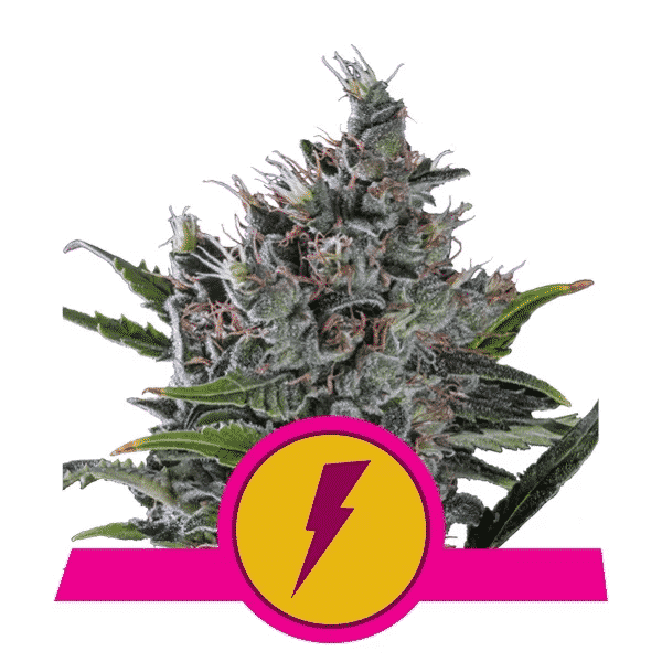 North Tunderfuck Feminized Cannabis Seeds