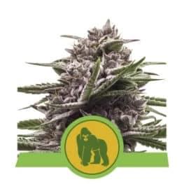 Royal Gorilla Automatic Cannabis Seeds