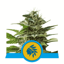 Tatanka Pure CBD Feminized Cannabis Seed