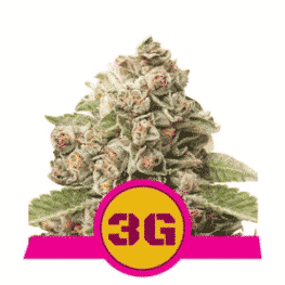 Triple G Feminized Cannabis Seeds from Royal Queen Seeds