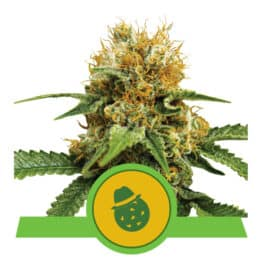 Dosidos Automatic Cannabis Seeds