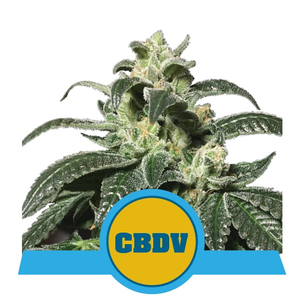 Royal CBDV Automatic Cannabis Seeds