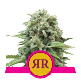 Royal Runtz Feminized Cannabis Seeds