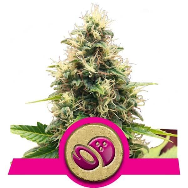 Buy Somango XL Feminized Cannabis Seeds
