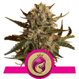 Mother Gorilla Cannabis Seeds