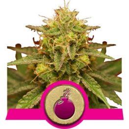 Royal Domina Feminized Cannabis Seeds
