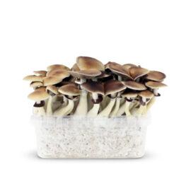 amazonian magic mushrooms paddos growkit
