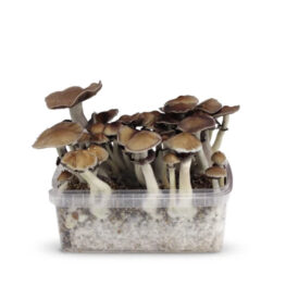 ban hua thai magic mushrooms growkit paddos