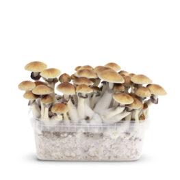 golden teacher magic mushrooms growkit paddo