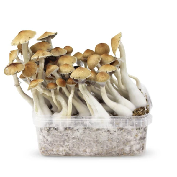 mckennaii magic mushrooms growkit paddo