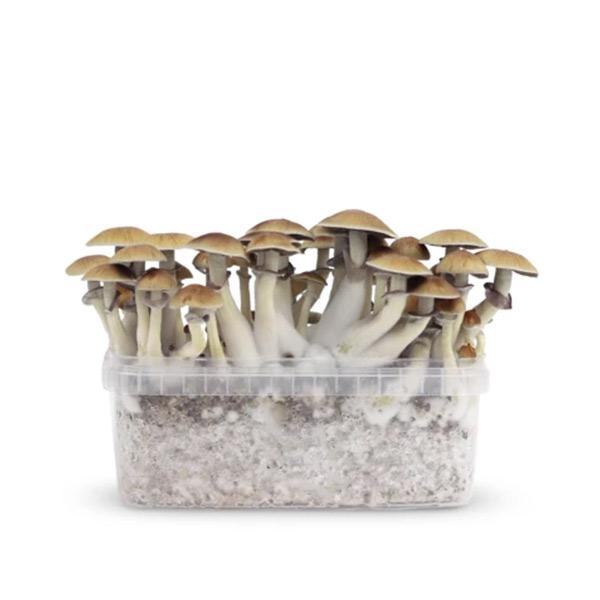 mexicana magic mushrooms paddos