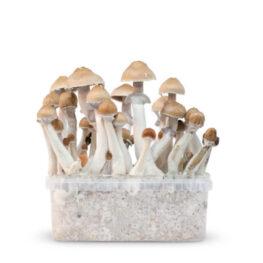 red boy magic mushrooms grow kit paddos