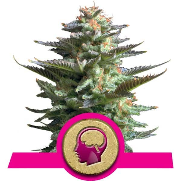 Buy Amnesia Haze Feminized Cannabis Seeds from Royal Queen Seeds online at HollandsHigh! Fast & Discrete worldwide shipping!