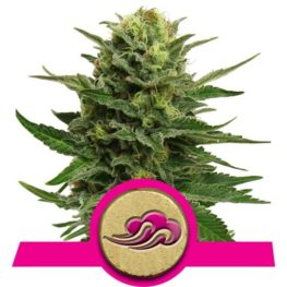 Blue Mystic Feminized Cannabis Seeds from Royal Queen Seeds
