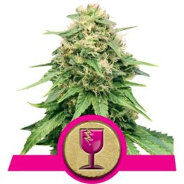 Critical Feminized Cannabis seeds
