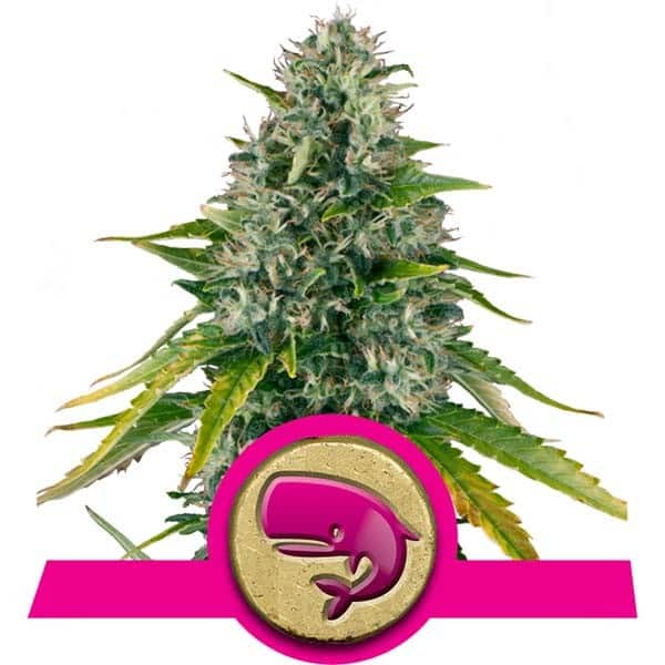 Royal Moby Feminized Cannabis Seeds from Royal Queen Seeds