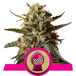 Buy Bubblegum XL Feminized Cannabis Seeds from Royal Queen Seeds online at HollandsHigh! Fast & Discrete worldwide shipping!