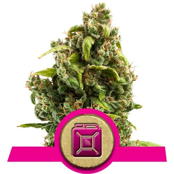 Sour Diesel Feminized Cannabis Seeds from Royal Queen Seeds