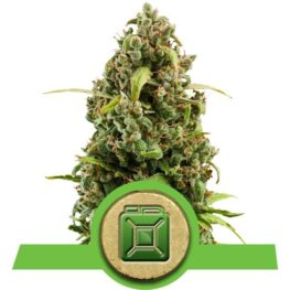 Diesel Automatic Cannabis Seeds from Royal Queen Seeds