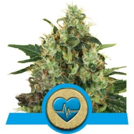 Medical Mass CBD Cannabis Seeds