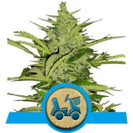 Fast Eddy Automatic CBD Cannabis Seeds