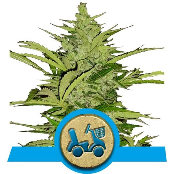 Fast Eddy Automatic CBD Cannabis Seeds